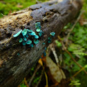 Blue-Stain Fungus