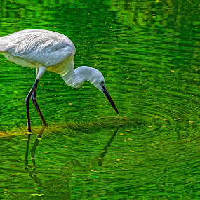 Little Egret (Egretta garzetta) by Rahul Chakraborty - Animals Birds