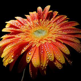 Sunset gerbera by Biljana Nikolic - Flowers Single Flower ( , colorful, mood factory, vibrant, happiness, January, moods, emotions, inspiration )