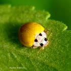 Yellow Ladybird Beetle