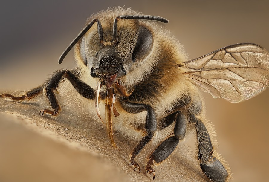 Bee by Luciano Richino - Animals Insects & Spiders ( richino, extreme, macro, bee, luciano, abeja )