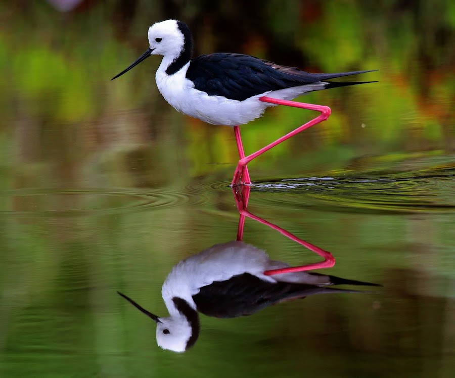 Great Legs!! by Anthony Goldman - Animals Birds ( water, wild, reflection, stilt, black winged, bied, eve`s wetlands, sydney, , renewal, green, trees, forests, nature, natural, scenic, relaxing, meditation, the mood factory, mood, emotions, jade, revive, inspirational, earthly )