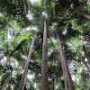 Carpentaria Palms (grove)