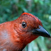 Ant-tanager