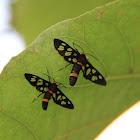 Amata Wasp Moth