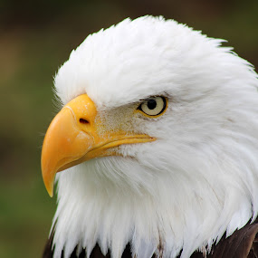 Head of American Bald Eagle by Robert Hamm - Animals Birds ( otavalo, eagle, bird of prey, ecuador, bald eagle, american bald eagle, bird, hunter, carnivore, nature, outdoor, raptor, bird sanctuary,  )