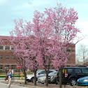 Columnar Sargent Cherry
