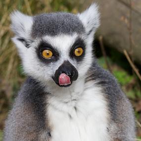 RING TAILED LEMUR PORTRAIT by John Dutton - Animals Other Mammals ( ring-tailed lemur, portrait, mammal )