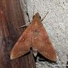Macroglossinae