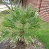 fan palm tree