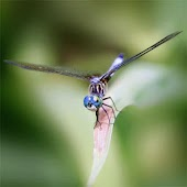 Dragonflies Live Wallpaper