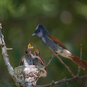 Come-monn. by Pax Bell - Animals Birds ( flycatcher, paradise fly catcher )