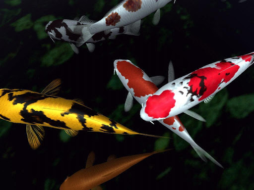 【免費個人化App】Fancy Koi Fish Live Wallpaper-APP點子