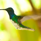 White-necked Jacobin Male