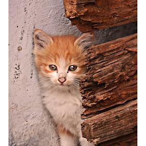 cuty by Madhu Payyan Vellatinkara - Animals - Cats Kittens ( baby, young, animal )