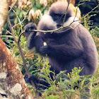 Purple faced leaf monkey or Langur