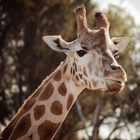 GIraffe Encounter by Matt Simner - Animals Other Mammals ( savannah, werribee )