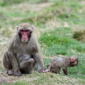 Where do you think you are going? by Jacek Steplewski - Animals Other Mammals ( animals, snow monkey, zoo, baby animals, monkey, japanese macaque )