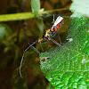 Milkweed Assassin Bug