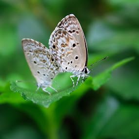 Nature  by Qamrul Hassan Shajal - Animals Insects & Spiders ( tiny, butterfly, sex, nature, green dof )