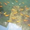 Carassius auratus. Carpa dorada, carpín dorado o pez rojo