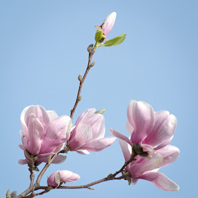 Aspiring by Gerda Grice - Flowers Tree Blossoms ( blue sky, bud pointing up, agnolias, m, buds, blossoms, floral,  )