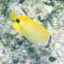 Milletseed Butterflyfish/ lauwiliwili