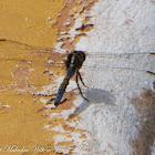Epaulet Skimmer Dragonfly