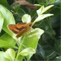 Wide-brand Grass-dart or Orange Dart (Suniana sunias)