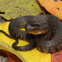 Mississippi Green Water Snake
