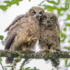 Sibling Love by Gary Davenport - Animals Birds ( two, pair, owl, owlets, fledged, perch, great horned owl )