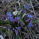 Two-leaf/Alpine squill