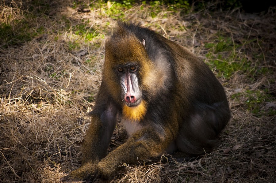 Mandrill by Barry Blaisdell - Animals Other Mammals ( baboon, zoo, colorful, ape, primate,  )