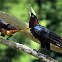 Chestnut headed oropendola