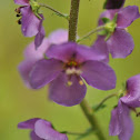 Purple Mullein