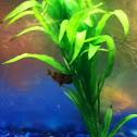 Blotched Upside-down Catfish