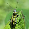 Weevil (Gorgulho)