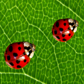 Ladybug and Leaf Wallpaper Dem