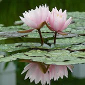 Real Water Lily Live Wallpaper