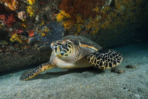 A sea turtle explores the protected ocean reefs on St. Eustatius.