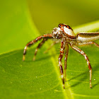 Two-striped jumping spider(Male)