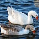 Australian Settler Geese (mating)