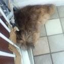 Pomeranian Shih-Tzu Poodle
