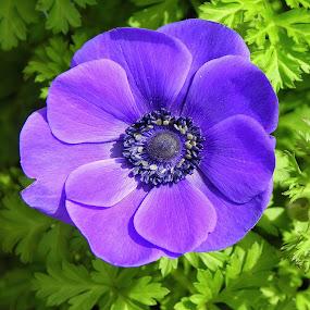 As Purple As It Gets by Ed Hanson - Flowers Single Flower ( nature, purple, green, close-up, flower )