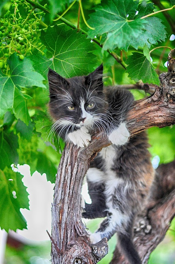 by Maja  Marjanovic - Animals - Cats Kittens ( cats, animals, kittens, kitty,  )