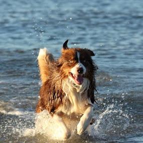 Australian Shepherd by Selena Chambers - Animals - Dogs Running ( #GARYFONGPETS, #SHOWUSYOURPETS,  )