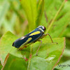 Sharpshooter (Leafhopper)