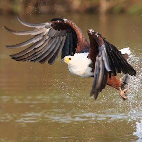Fish Eagle by Tom Esterhuizen - Animals Birds ( chobe, botswana, okavango, eagle, fish, action )