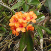 Javanese Rhododendron