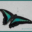 Common Bluebottle Butterfly